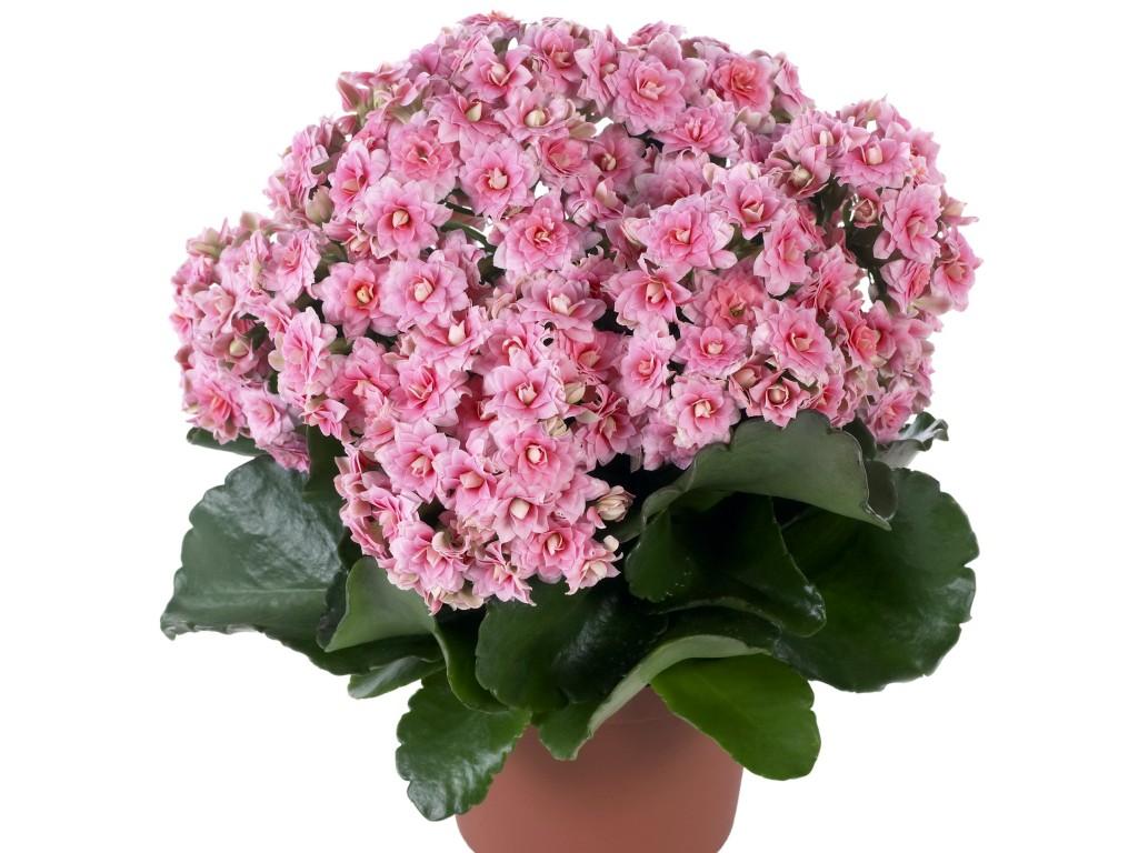 Комнатные цветки все картинки
